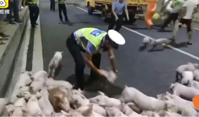 Угарное видео. Полицейские час ловили 200 поросят в автомобильной пробке
