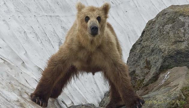 Идёт охота на русского медведя