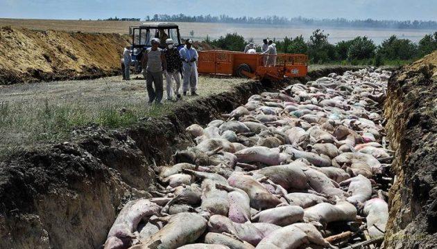 На россии вспышка африканской чумы свиней