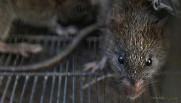 Российские власти считают нашествия крыс нормой
