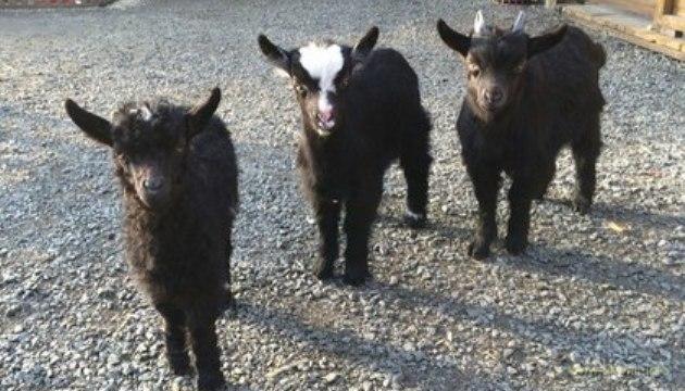 Qaşşăb означає живодер: В российском зоопарке зарезали половину животных