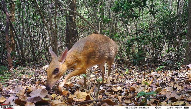 Во Вьетнаме нашли животное — наполовину оленя, наполовину мышь