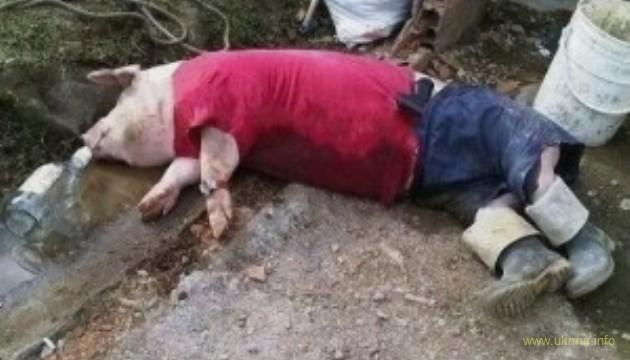 На России свиньи зашли в магазин и нализались алкоголя